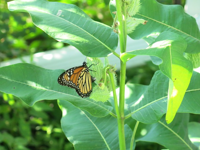 Monarch on milkweed. Photo by Naomi Krueger.